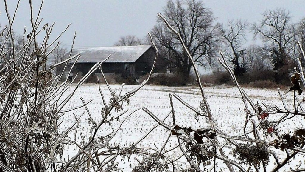 Barn glimpsed through branches of a frozen berry bush.